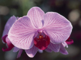 Close-Up of a Moth Orchid (Phalaenopsis) Photographic Print by R. Sacco