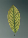 Close-Up of a Sweet Cherry Leaf (Prunus Avium) Photographic Print by A. Dagli Orti