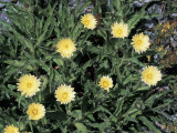 Hieracium Intybaceum Flowers Growing Photographic Print by C. Delu