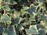 Close-Up of Cape Ivy (Delairea Odorata) Photographic Print by M. Cerri