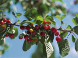 Close-Up of Cherries on a Tree (Prunus Avium) Photographic Print by A. Laurenti
