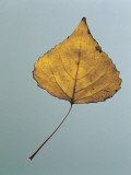 Close-Up of a Lombardy Poplar Leaf (Populus Nigra Italica) Photographic Print by A. Dagli Orti