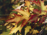 Close-Up of a Silver Maple Leaf (Acer Saccharinum) Photographic Print by C. Dani