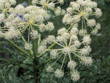 Close-Up of Flowers on Northern Water Hemlock Plant (Cicuta Virosa) Photographic Print by D. Dagli Orti