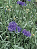 Garden Cornflowers Growing in a Field (Centaurea Cyanus) Photographic Print by D. Dagli Orti