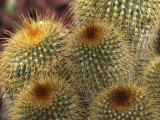 Close-Up of Notocactus Leninghausii Cactus Plant Photographic Print by S. Montanari