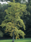 Low Angle View of a Ginkgo Tree (Ginkgo Biloba) Photographic Print by C. Sappa