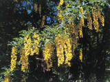 Close-Up of a Golden Chain Tree (Laburnum Anagyroides) Photographic Print by N. Chasseriau