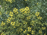 Close-Up of Common Rue Flowers (Ruta Graveolens) Photographic Print by C. Delu
