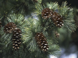 Close-Up of Pine Cones on a Macedonian Pine Tree (Pinus Peuce) Photographic Print by C. Sappa