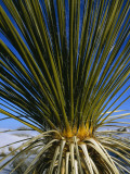 Close Up of a Yucca (Yucca) Plant, White Sands National Monument, New Mexico, Usa Photographic Print by Jeff Foott