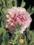 Close-Up of a Peony Flower (Paeonia) Photographic Print by M. Cerri