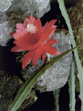 Orchid Cactus Growing on Rocks Photographic Print by D. Dagli Orti