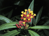 Close-Up of Blood Flowers (Asclepias Curassavica) Photographic Print by A. Moreschi