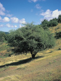 Lignum Vitae Tree on a Rolling Landscape (Guaiacum Officinale) Photographic Print by A. Curzi