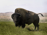 South Dakota, Badlands National Park, a Huge Bison Bull Casts a Menacing Eye Photographic Print by G. Richard Kettlewell