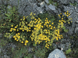 High Angle View of Bupleurum Ranunculoides Flowers Growing on Rocks Photographic Print by M. Giovanoli