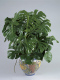 Split-Leaf Philodendron Growing in a Pot (Monstera Deliciosa) Papier Photo par G. Cigolini