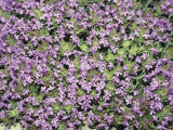 Close-Up of Thyme Flowers (Thymus Cephalotus) Photographic Print by A. Moreschi