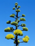 Detail of Coastal Agave (Agave Shawii) in Bloom, Baja California, Mexico Photographic Print by Jeff Foott