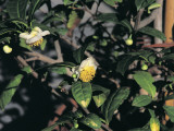 Close-Up of a Tea Plant (Camellia Sinensis) Photographic Print by P. Luzzi