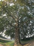 Low Angle View of a Plane Tree, Province of Ravenna, Emilia-Romagna, Italy (Platanus Hybrida) Photographic Print by S. Montanari