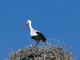 White stork in a nest (Ciconia ciconia) Photographic Print by W. Buss