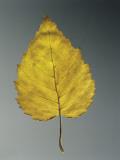 Close-Up of a Leaf of European White Birch (Betula Pendula) Photographic Print by A. Dagli Orti