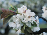 Close-Up of Sour Cherry Flowers (Prunus Cerasus) Photographic Print by C. Sappa