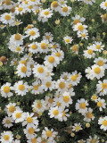 Close-Up of German Chamomile in a Field (Matricaria Recutita) Photographic Print by D. Dagli Orti