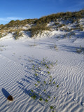 Beach Landscape with Animal Tracks and Grassy Sand Dunes, Gulf Islands National Seashore, Florida Photographic Print by Jeff Foott