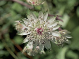 Close-Up of a Great Masterwort Flower (Astrantia Major) Photographic Print by R. Sacco