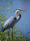Great Blue Heron (Ardea Herodias) Standing at Water's Edge, Florida, Usa Photographic Print by Jeff Foott
