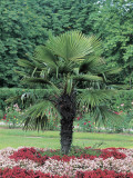 Lady Palm Tree in a Formal Garden (Chamaerops Excelsa) Photographic Print by R. Sacco