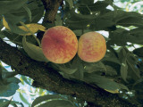 Peaches Hanging from the Tree (Prunus Persica) Photographic Print by D. Dagli Orti