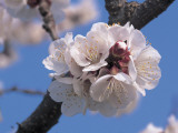 Close-Up of Apricot Flowers on a Branch (Prunus Armeniaca) Photographic Print by M. Cerri