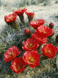 Claret Cup Cactus (Echinocereus Triglochidiatus) Flowers Blooming, Southwest, Usa Photographic Print by Jeff Foott
