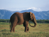 Side Profile of an African Elephant Walking in the Forest, Fothergill Island, Kariba, Zimbabwe Photographic Print by G. Sioen