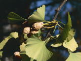 Close-Up of Leaves and Fruits of a Maidenhair Tree (Ginkgo Biloba) Photographic Print by C. Dani