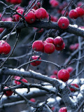 Crab Apples Hanging from Snowy Branches in Fall, Montana, Usa Photographic Print by Jeff Foott