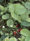 Close-Up of Woodland Strawberry Plant (Fragaria Vesca) Photographic Print by D. Dagli Orti