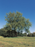White Mulberry Tree in a Field (Morus Alba) Photographic Print by R. Sacco