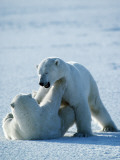 Young Polar Bears Play Fighting {Ursus Maritimus} Churchill, Canada Photographic Print by Jeff Foott