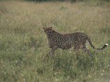Cheetah in a Field, Masai Mara National Reserve, Kenya (Acinonyx Jubatus) Photographic Print by F. Galardi