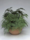 Close-Up of an Asparagus Fern Plant Growing in a Pot (Asparagus Setaceus) Photographic Print by C. Dani