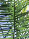 Close-Up of Betel Palm Leaves (Areca Catechu) Photographic Print by W. Buss