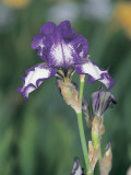 Close-Up of Iris 'stepping Out' Flowers Photographic Print by S. Montanari
