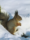 Close-Up of a Red Squirrel Sitting on Snow, Tsarskoe Selo Park, Pushkin, St Photographic Print by W. Buss