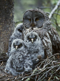 Great Grey Owl Female and Chicks at Nest Photographic Print by Jeff Foott