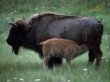 American Bison Calf Suckling, National Bison Range, Montana USA, Photographic Print